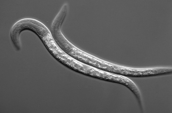 c.elegans research papers
