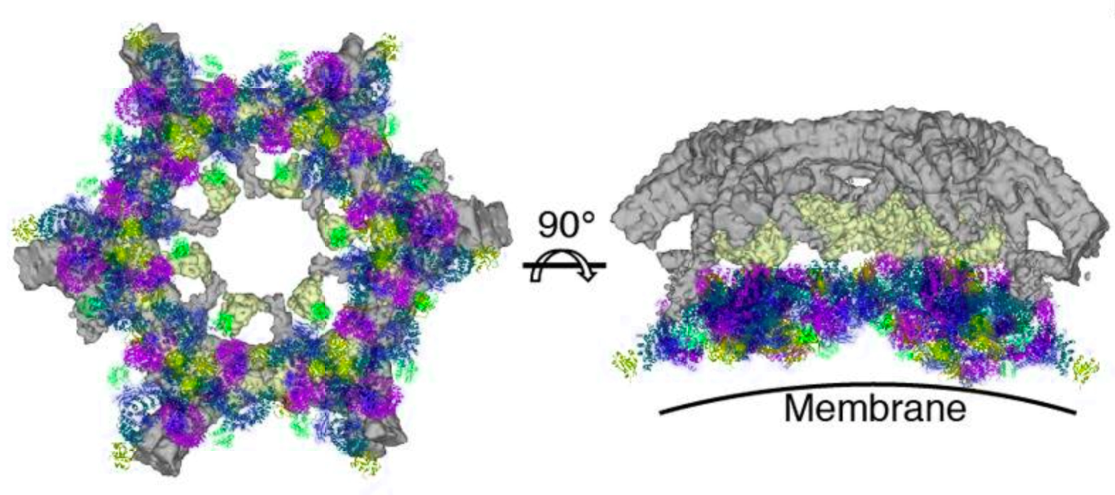 Cryoelectron microscopy structures of Nef and Arf1-bound AP-1 predict a hexagonal assembly (left) whose inner and outer faces bi