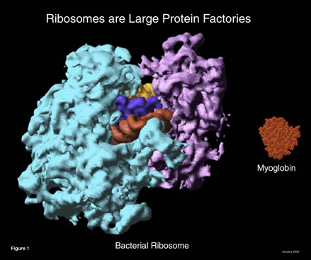 Ribosome Figure 1 small