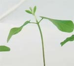 Time-lapse video of soybean plants. Credit: UC San Diego