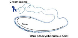 Genes are segments of chromosomes, which are made up of DNA. Credit: NHGRI