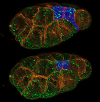 Two C. elegans cells (blue) migrate from an embryo's surface (top) to its interior (bottom). Credit: Chris Higgins and Liang Gao, University of North Carolina, Chapel Hill.