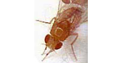 Fruit fly. Credit: Laurie Tompkins, NIH's National Institute of General Medical Sciences.