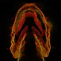 Glycans light up in the jaw of this zebrafish embryo. Credit: Carolyn Bertozzi, University of California, Berkeley.
