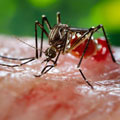 Mosquito. Credit: James Gathany, CDC.