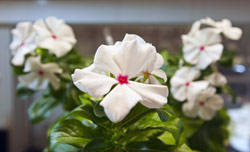 Periwinkle plant
