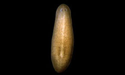 Planarian. Credit: Alejandro Sánchez Alvarado, Stowers Institute for Medical Research.