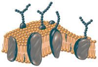 The plasma membrane is a perfect example of the rule that oil and water don't mix.