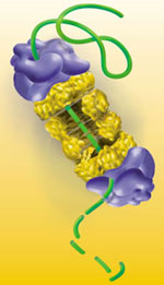 Illustration of proteasome. Credit: Office of Biological and Environmental Research of the U.S. Department of Energy Office of Science.