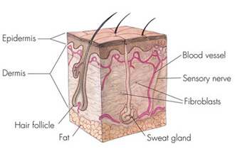 Skin cross section illustration.