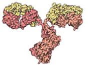 Antibodies are immune system molecules that help rid the body of foreign material like bacteria or viruses. The two arms of the Y-shaped antibody bind to a foreign molecule and the stem sends signals to recruit other members of the immune system. Credit: David S. Goodsell